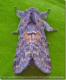 Four-spotted Gluphisia Moth (Gluphisia avimacula) (2)