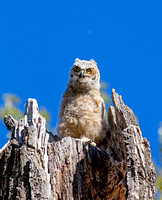 Great Horned Owl - Owlet