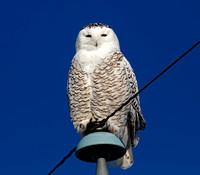 Snowy Owl - immature male