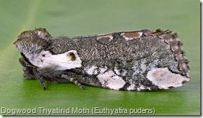 Dogwood Thyatirid Moth (Euthyatira pudens) (1)