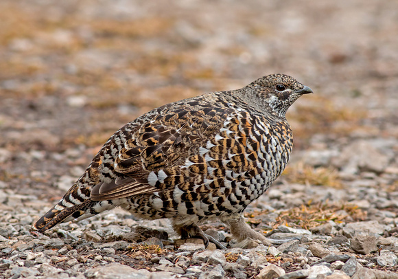 Spruce Grouse - female