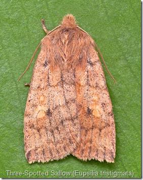 Three-Spotted Sallow (Eupsilia tristigmata)