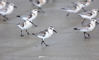 Sanderling on Wickaninnish Beach, Vancouver Island