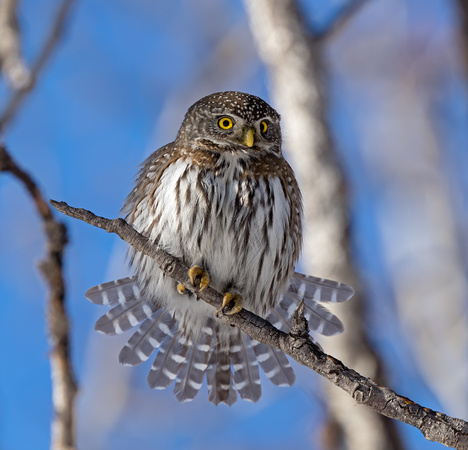 Northern Pygmy Owl fanning its tail feathers