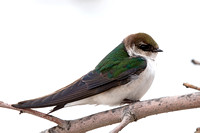 Adult female Violet-green Swallow