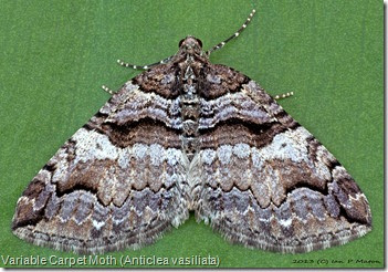 7329 Variable Carpet Moth (Anticlea vasiliata)