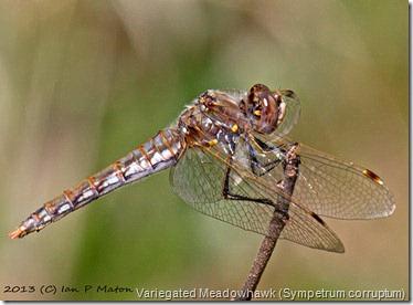 Variegated Meadowhawk (Sympetrum corruptum)
