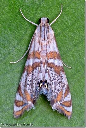 Petrophila kearfottalis