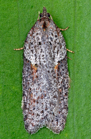 Acleris nr= bowmanana