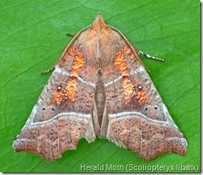 8555 Herald Moth (Scoliopteryx libatrix)