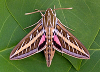 White-lined Sphinx (Hyles lineata)