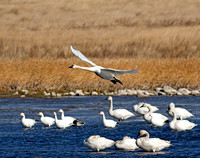 Tundra Swans and Snow Geese