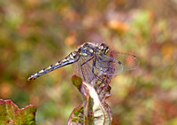 Black Meadowhawk (Sympetrum danae) - female