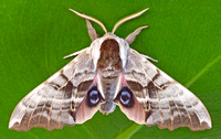 One-eyed Sphinx Moth (Smerinthus cerisyi)