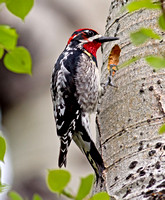 Red-naped Sapsucker - male