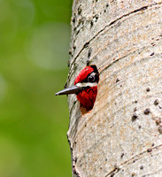Red-naped Sapsucker - peeking