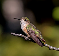 Calliope Hummingbird - female