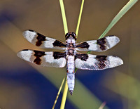 Eight-spotted Skimmer - male