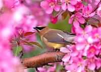 Cedar Waxwing amongst crab apple tree blossoms