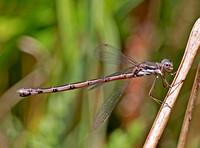 Spotted Spreadwing Damselfly - female