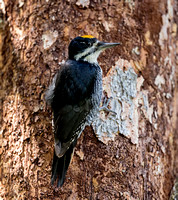 Black-backed Woodpecker - male