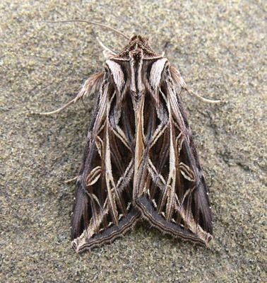 Ian Maton Nature Photography: Moths of Calgary and Southern Alberta &emdash; 10428 Olive Green Cutworm (Dargida procincta)