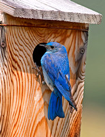Mountain Bluebird - male