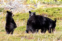 American Black Bear and Cubs