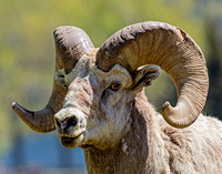 Bighorn Sheep - male