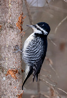 Black-backed Woodpecker - female