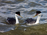 Western Grebes