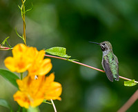 Anna's Hummingbird - immature male