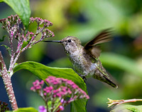 Anna's Hummingbird - female