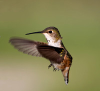 Rufous Hummingbird - female