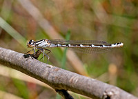 Nobo Bluet - female